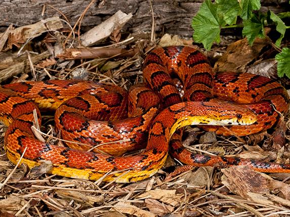 rắn đỏ nhật bản akamamushi