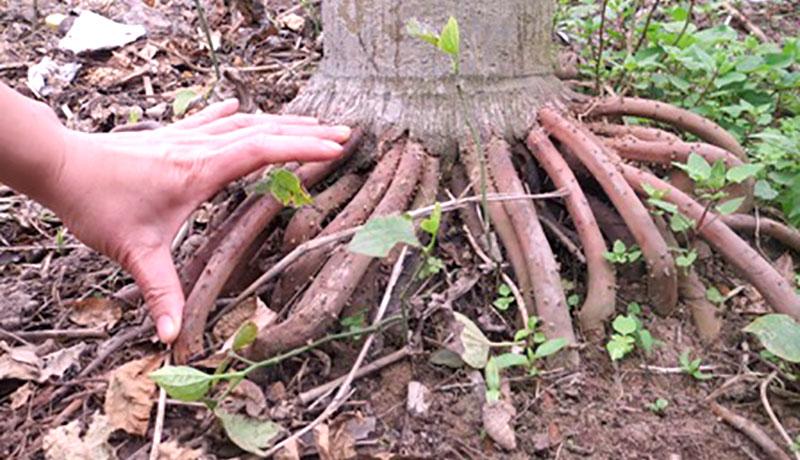 rễ cau chữa yếu sinh lý