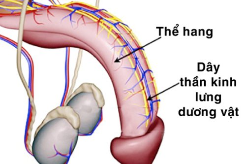 cắt thần kinh lưng dương vật chữa xuất tinh sớm